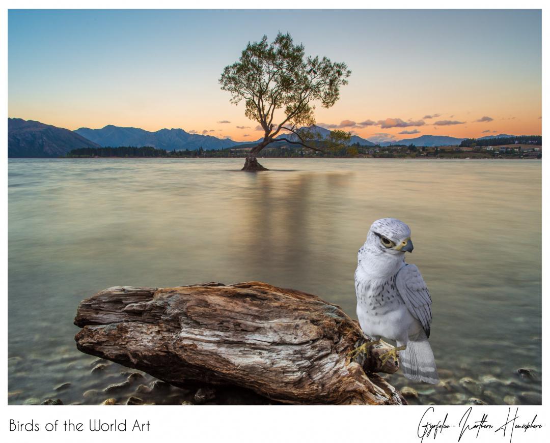 Birds of the World Art presents: Gyrfalcon from Northern Hemisphere