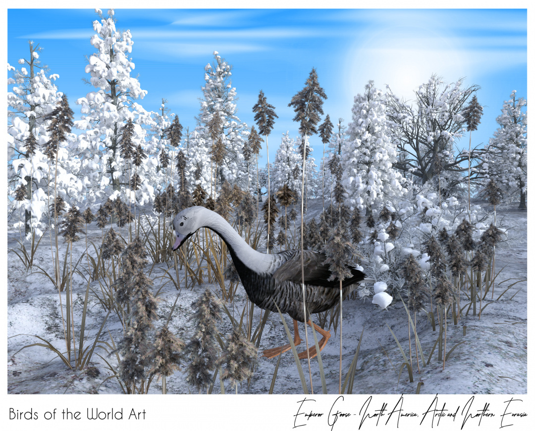 Birds of the World Art presents: Emperor Goose from North America, Arctic and Northern Eurasia