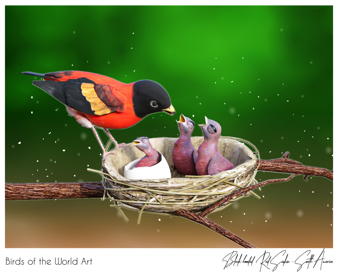 Birds of the World Art presents: Black-hooded Red Siskin from South America (endangered)