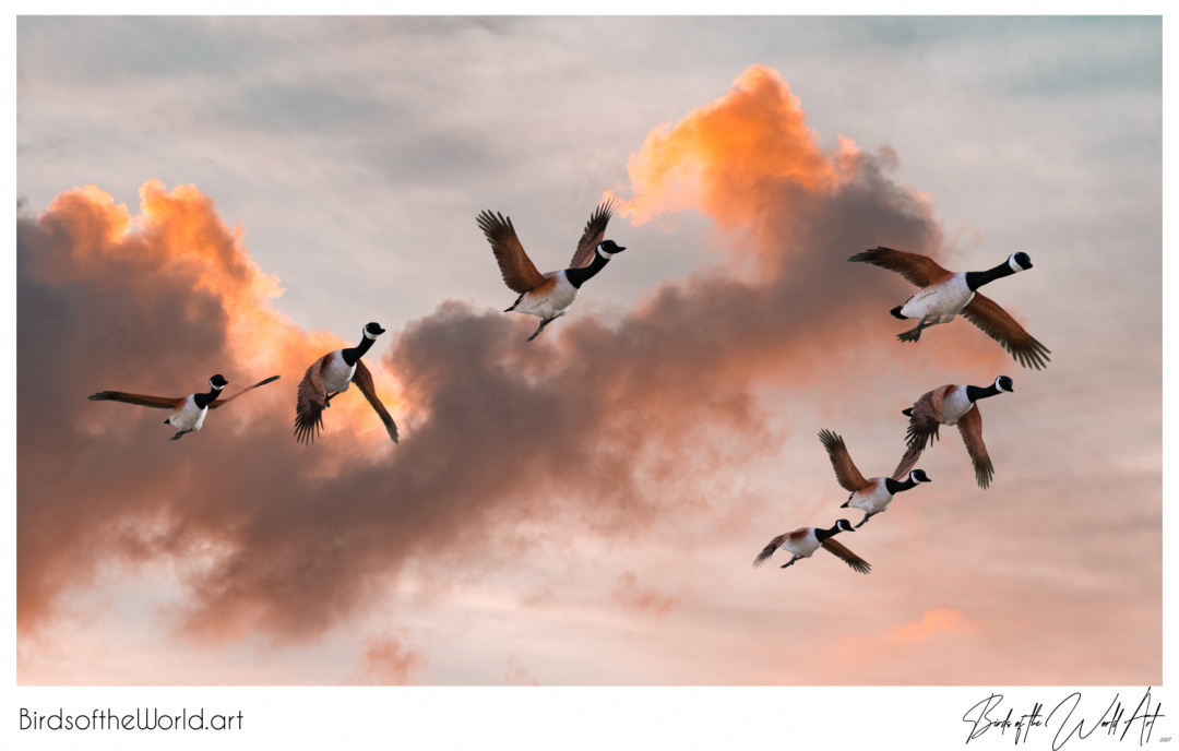 Birds of the World Art presents: A flock of flying geese returning. #Spring is arriving.