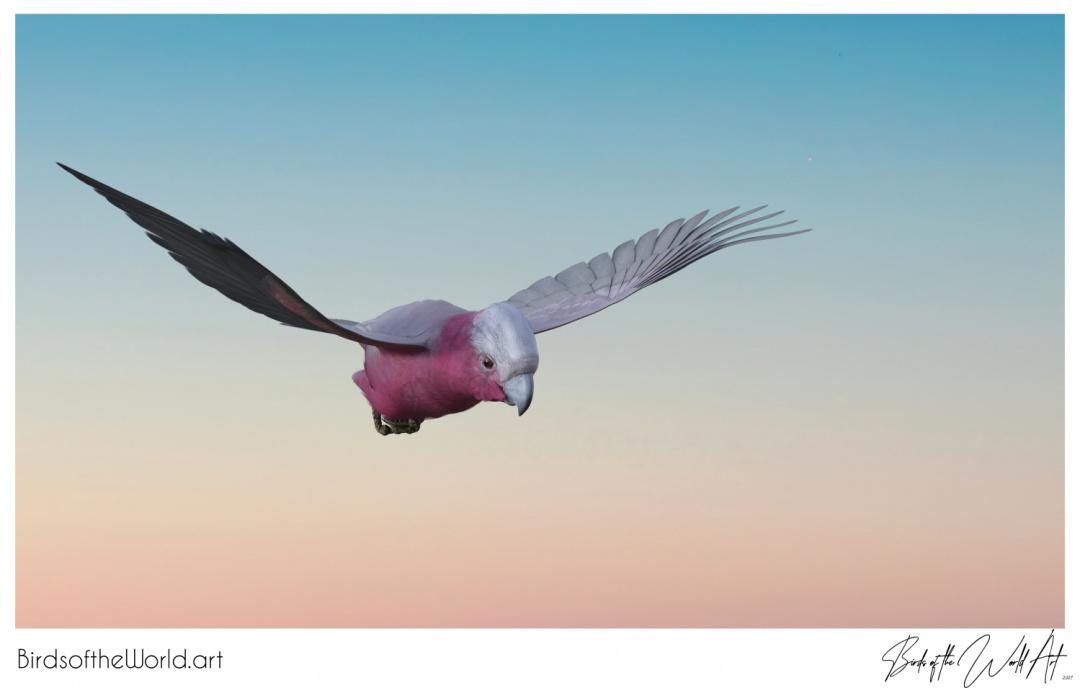 Birds of the World Art presents: Galah from Australia