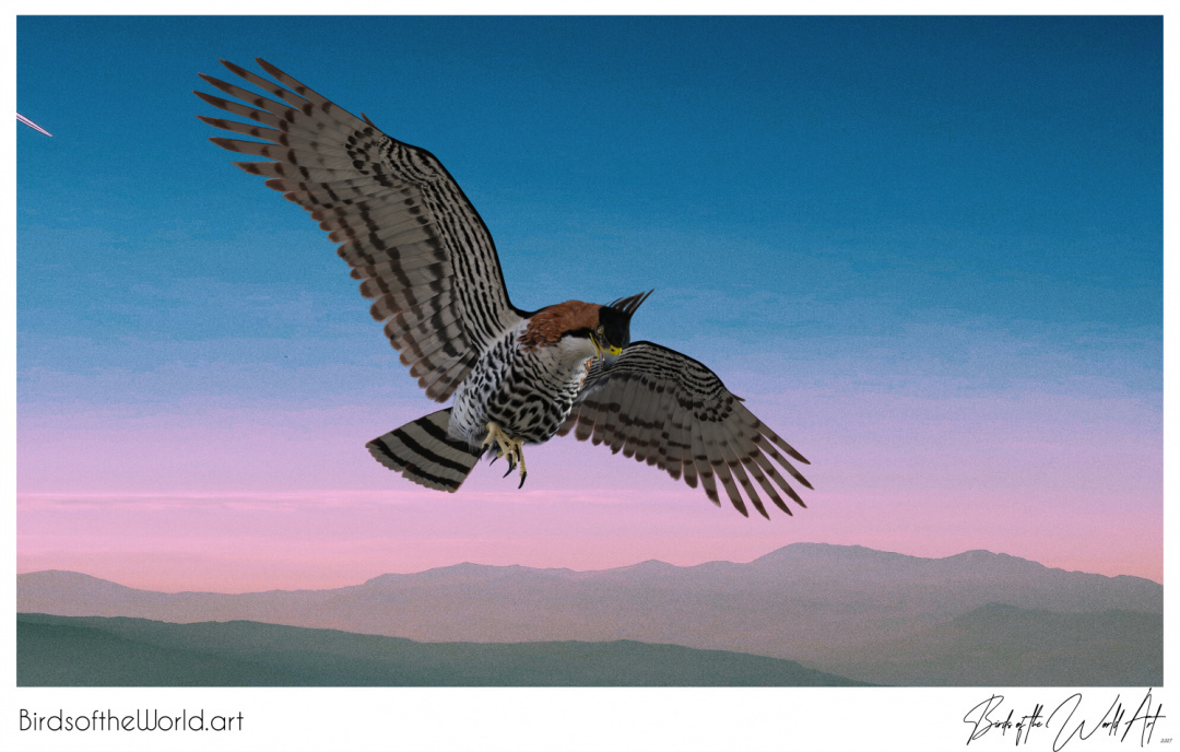 Birds of the World Art presents: Ornate Hawk Eagle from Central and South America (near threatened)