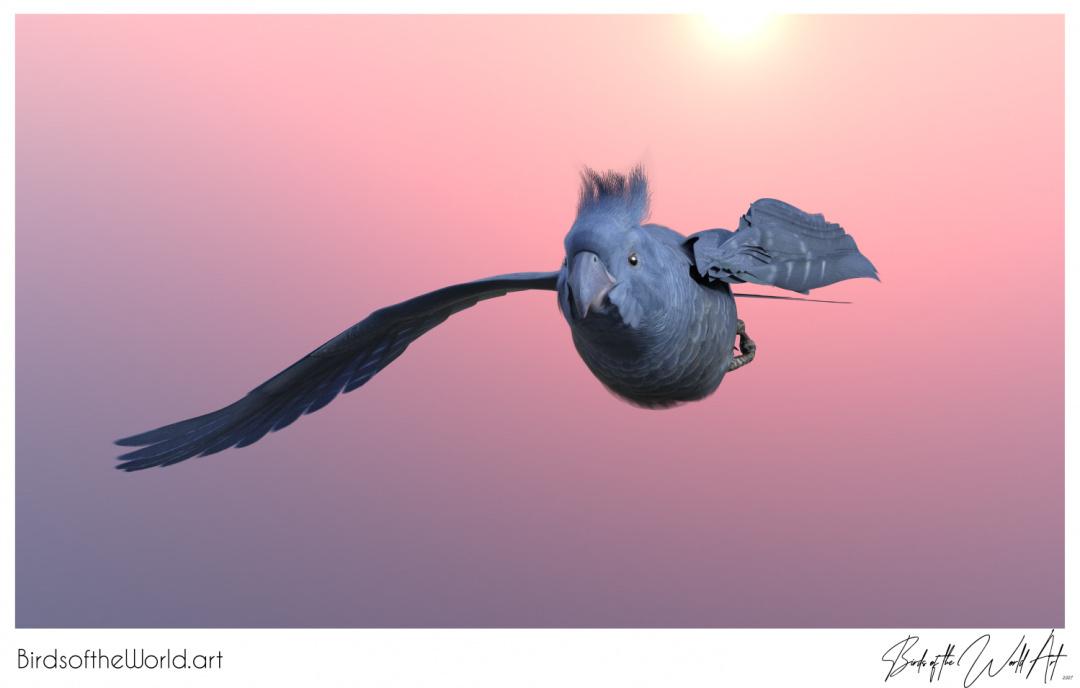 Birds of the World Art presents: Gang-gang Cockatoo from Australia