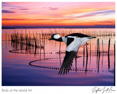 Birds of the World Art presents: Bufflehead from North America